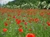 ein herrlicher Anblick, unser Mohnblumenfeld